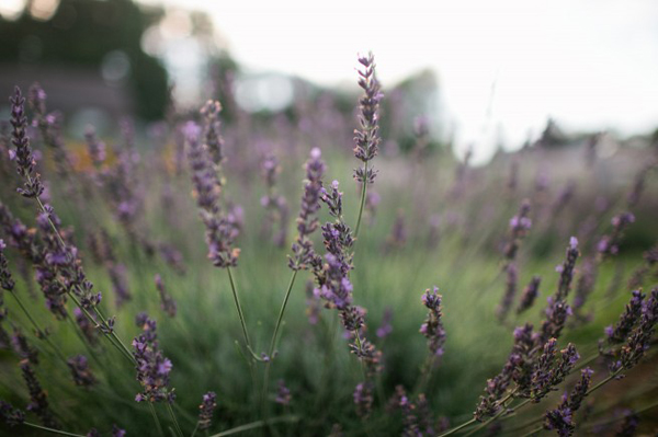 Hochzeit Lavendel (8)