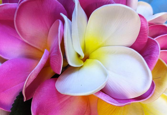 hawaiiblume pink