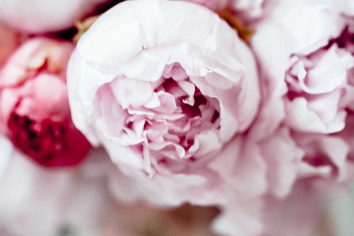pfingstrosen rosa