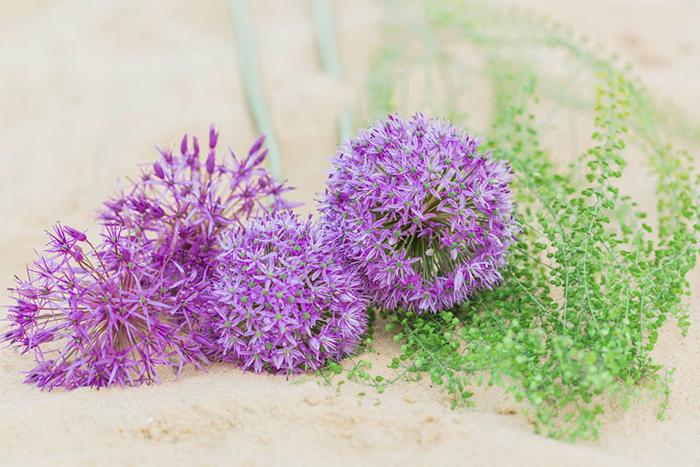 lila Allium (1)