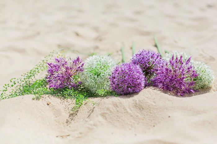 lila Allium (2)