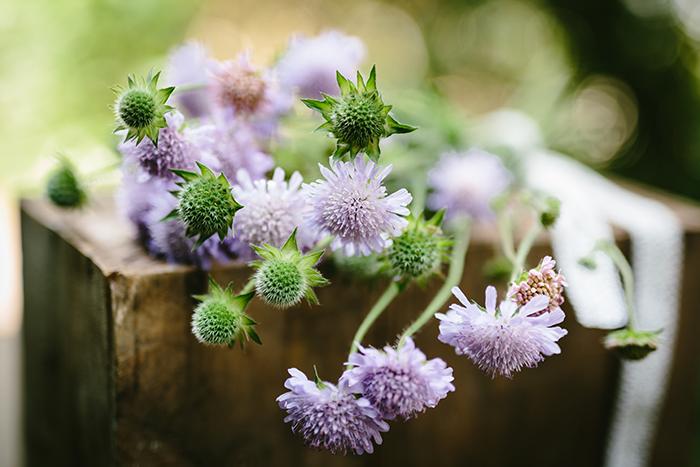 Scabiose lila