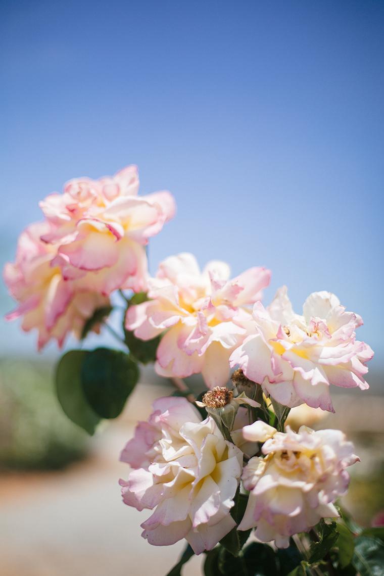 Sommerrosen