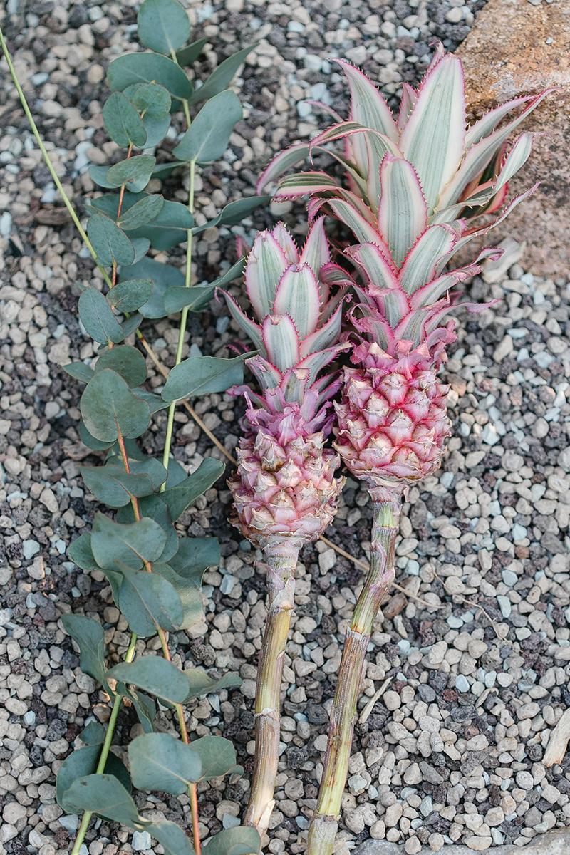 pinke-ananas-2