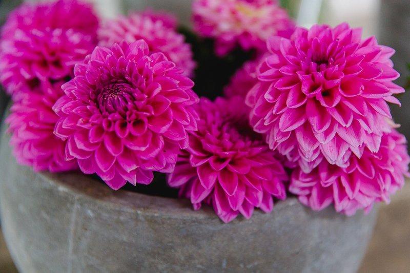 dahlien-pink