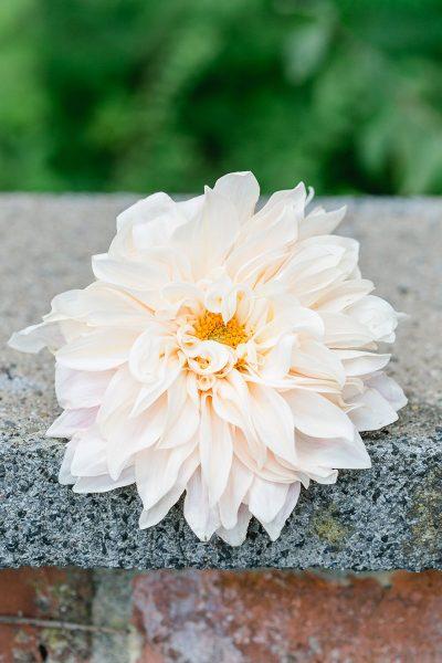 Blume des Monats September: Dahlie